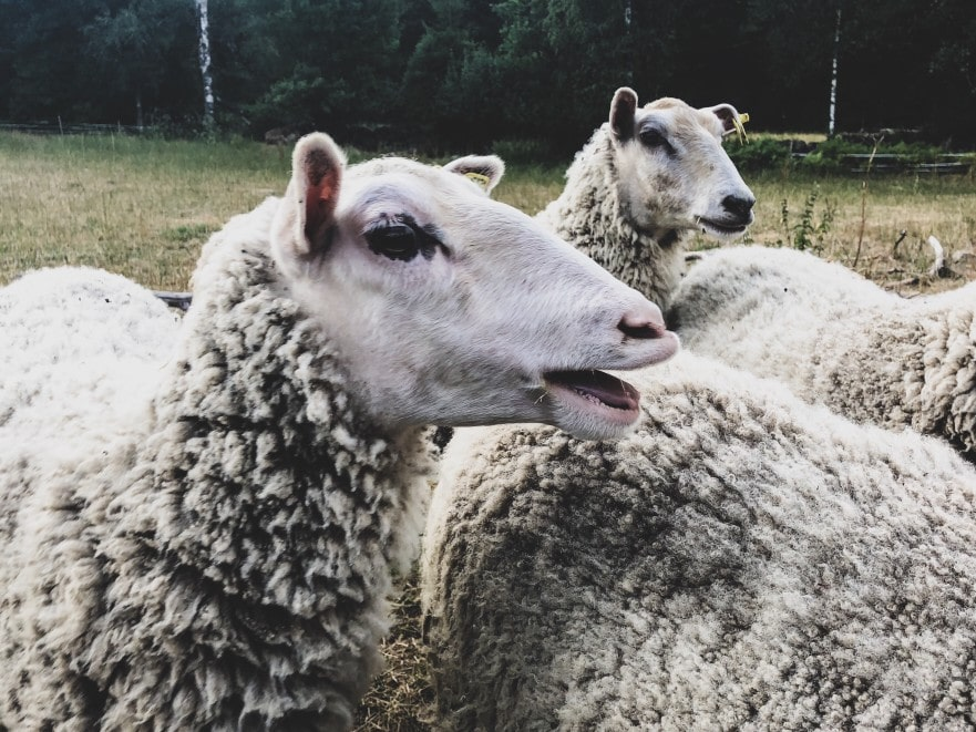 ovejas en la casa de campo